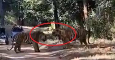 tiger fighte video kanha forest